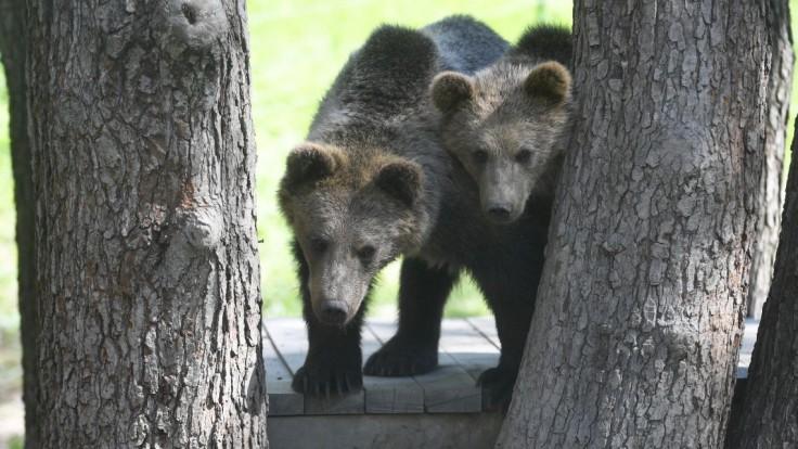 Človek nie je pre medveďa potravou. Ako sa správať, aby sme ho v lese nestretli?