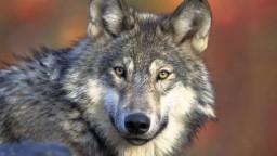 Lukáč: K stretnutiam s vlkmi dochádza. Doporučujem si ich vychutnať, sú úplne bezpečné