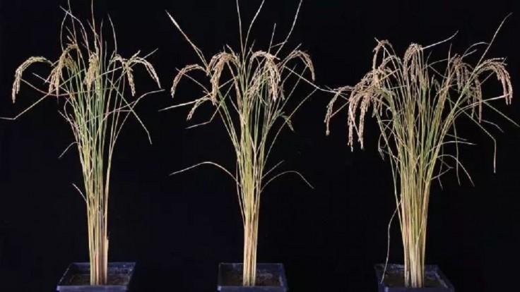 Vylepšenie RNA zvyšuje výnosy zemiakov a ryže až o 50 percent