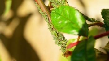 Príznaky poškodenia vošiek na rastlinách, na toto pozor