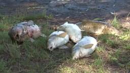 Havária na Hrone má katastrofálne následky, vylovili už štyri tony mŕtvych rýb