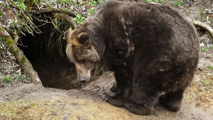 V obci Dúbravy našli uhynutú medvedicu. Zviera malo takmer 130 kilogramov
