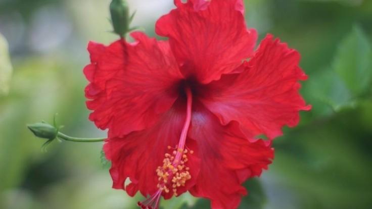 Ibištek čínsky a jeho pestovanie: Takto vás obdarí kvetmi