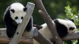 Vo francúzskej zoo sa narodili pandie dvojičky. Sú ružové a zdravé