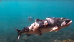 Voda v rieke sa po horúčavách zohriala natoľko, že poranila lososy. Spôsobila im plesne i rany