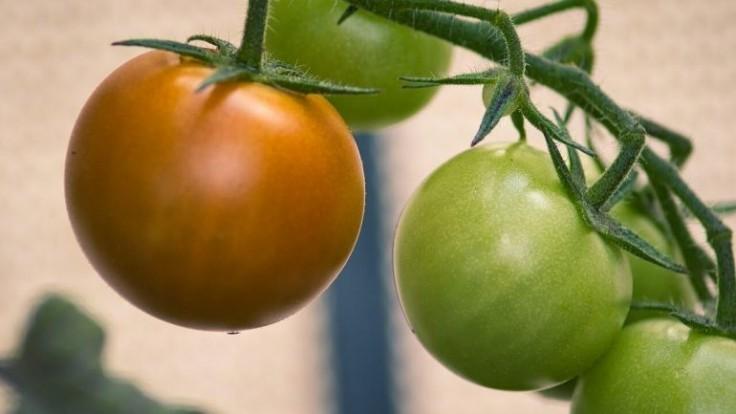 Ideálne podmienky pre dozrievanie paradajok v interiéri