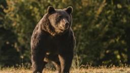 Farmárov trápia medvede, šelmy zaujali balíky senáže na poliach