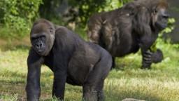 Gorily v ZOO ošetrovatelia videli kašľať, nakazili sa koronavírusom