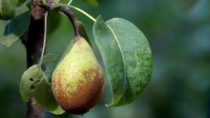 Ako urýchliť produkciu ovocia vo vašej záhrade