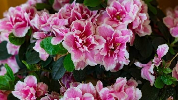Rododendron indický v kvetináči: Ako ho pestovať?