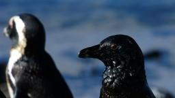 Na pláži našli 63 mŕtvych ohrozených tučniakov, pobodali ich včely