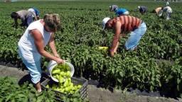 Agrosektoru chýbajú zamestnanci, úrodu nemá kto zbierať