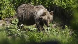 Pastiera nad obcou napadol medveď, zachránili ho psy