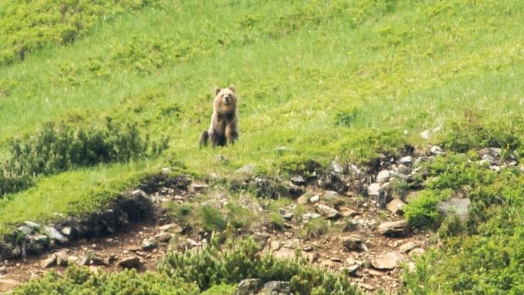 Medvedica stratila plachosť a ohrozovala ľudí. Zásahový tím ju usmrtil
