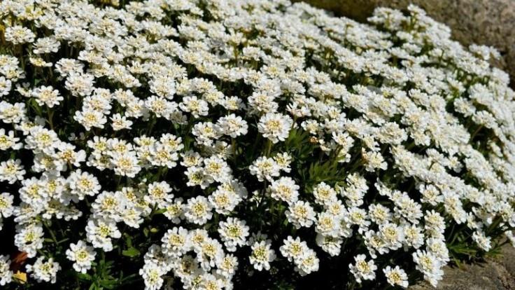 20 zaujímavých pôdopokryvných rastlín, časť II.