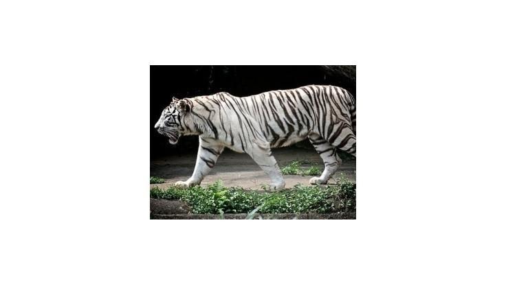 V českej ZOO utiekol biely tiger a zranil troch ľudí
