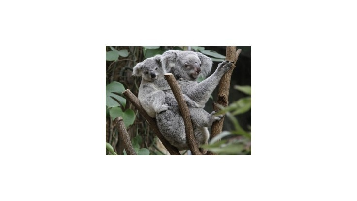 Koaly sa objímaním stromov ochladzujú