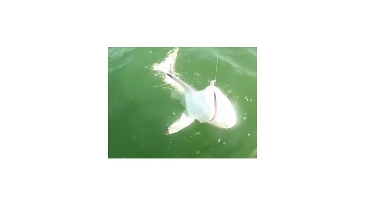 Obrovská ryba zožrala vyše metrového žraloka
