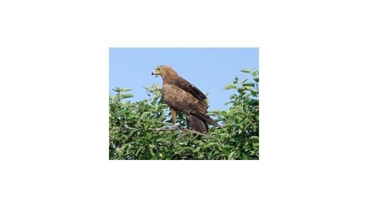 Verejnosť bude môcť opäť sledovať let orla krikľavého do Afriky