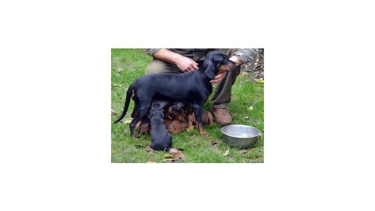 Slovenským chovateľom sa podarilo vyšľachtiť nové plemeno psa
