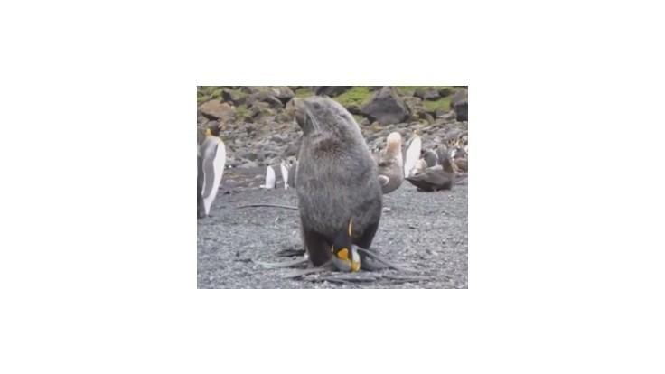 Uškatce na Marionovom ostrove sexuálne zneužívajú tučniaky