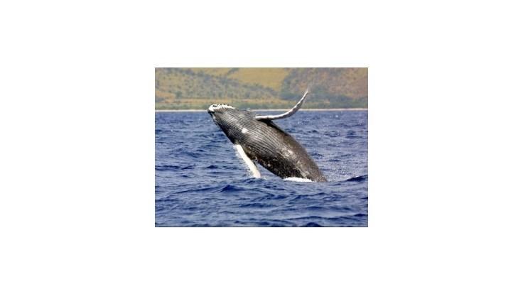 Japonsko zrušilo komerčný lov veľrýb
