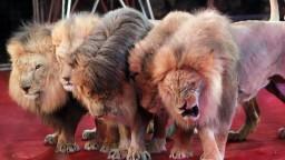 Vzali ich z divočiny a život prežili v pekle, cirkusové levy dostali druhú šancu
