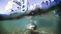 Nakrútili veľkého žraloka, ktorý vtrhol do klietky s potápačom