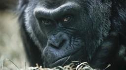 Zomrela samica Colo, najstaršia gorila v Spojených štátoch