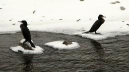 Premnožené kormorány v okolí Hornádu strpčujú rybárom život