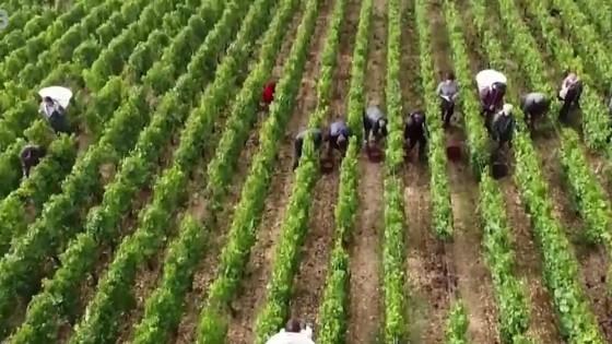 Francúzski vinári hlásia zlú sezónu/ Brtníci z južného Uralu