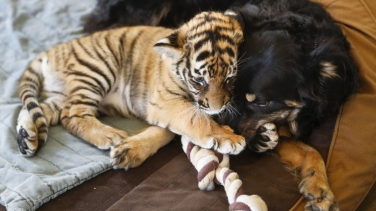 cincinnati-zoo-tiger-cubs-41324-a78eeaa8fe354ed6a26f0482e917130b_0a000002-0e36-4115.jpg