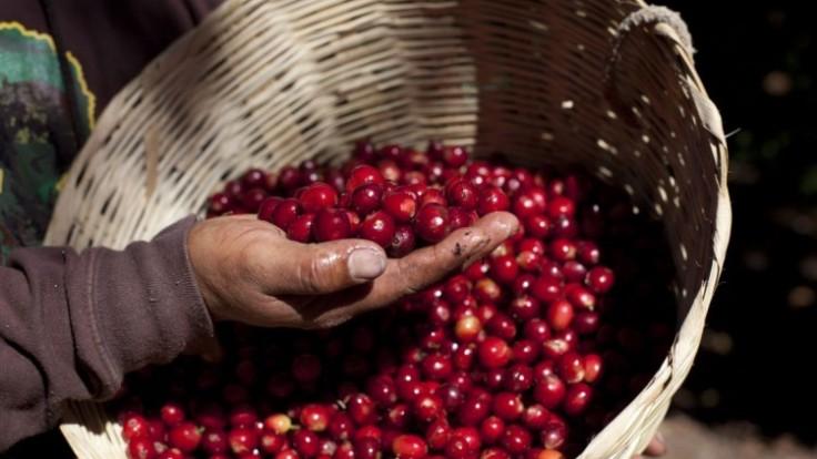guatemala-coffee-rust-1ef3a27403cc4656894c64887770b93c_7f000001-2996-5981.jpg