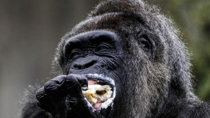 germany-old-gorilla-44822-f48a3f6102bc4729bb7d38242d52a0cb_7f000001-7c6b-0604.jpg