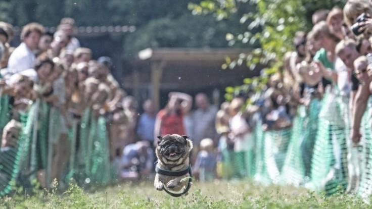 germany-pug-dog-race-40400-ba7ab050cb2e4dbcaa621c10d0d57aed_7f000001-3d8e-b33e.jpg