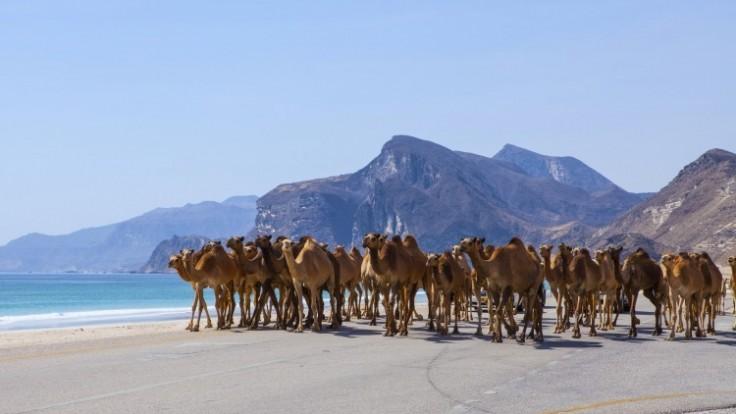 camels-in-omandepositphotos-98441246-xl-2015_c0a80301-56c3-a4d5.jpg